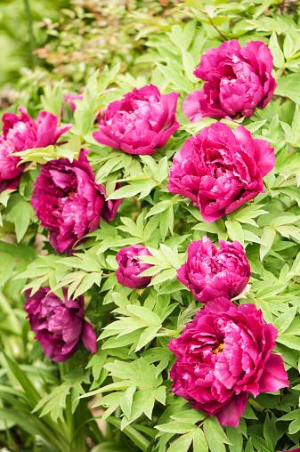 ボタン「Purple Japanese Tree Peony Flower Pattern」:スマホ壁紙(15)