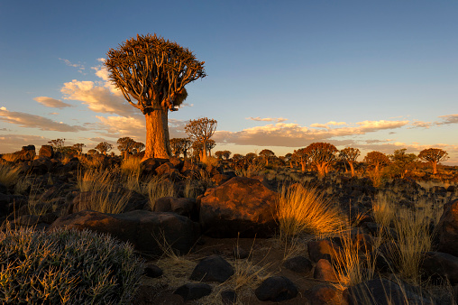 African Aloe「Landscape Photo of the Quiver Tree Forest lit up in Golden light from the Setting Sun, Keetmanshoop, Namibia」:スマホ壁紙(15)