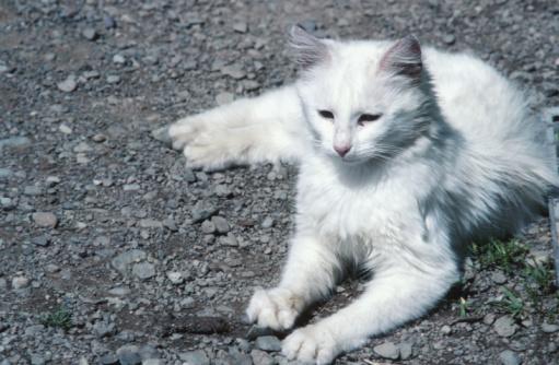 Mixed-Breed Cat「Cat lying down」:スマホ壁紙(16)