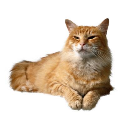 Mixed-Breed Cat「Cat Lying Down」:スマホ壁紙(2)