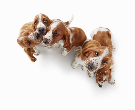 Springer Spaniel「Playful Puppies」:スマホ壁紙(18)