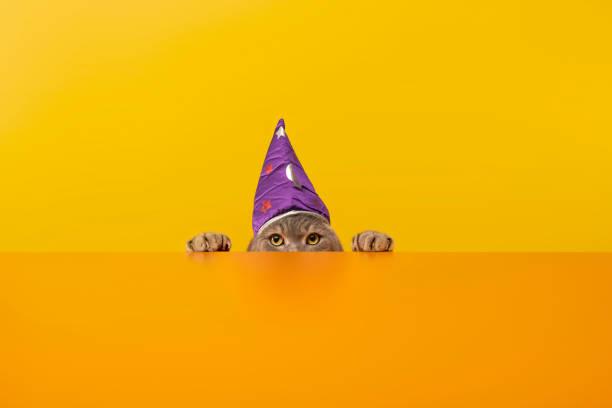 Big-eyed cat behind the desk with Wizards/Sorcerer's hat .Grey color British sort hair cat.:スマホ壁紙(壁紙.com)
