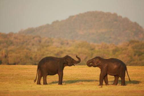 Sri Lanka「Asian elephant males (Elephas maximus) sparring」:スマホ壁紙(19)
