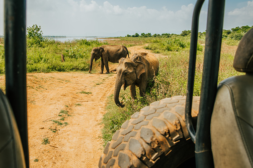 Sri Lanka「Asian elephants (Elephas maximus) near safari car,Sri Lanka」:スマホ壁紙(0)