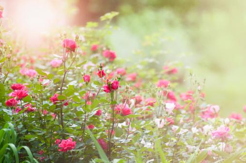 薔薇「朝には、ローズガーデン」:スマホ壁紙(19)