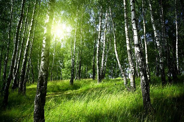 Morning in birch forest:スマホ壁紙(壁紙.com)