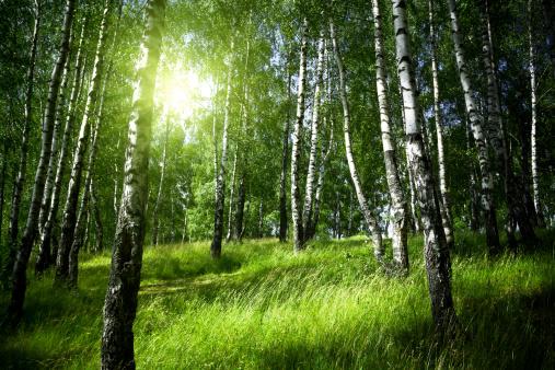 Birch Tree「Morning in birch forest」:スマホ壁紙(7)