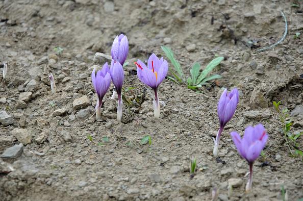 Spice「Saffron flowers」:写真・画像(15)[壁紙.com]