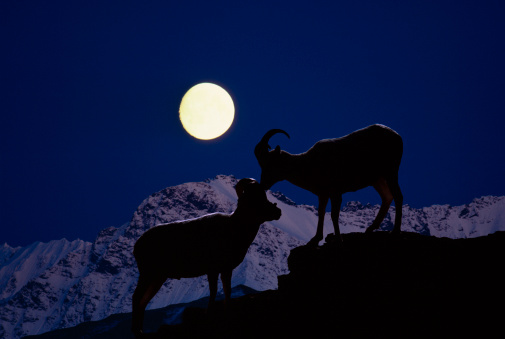 Ewe「Dall sheep ewe and ram in courtship display at twilight」:スマホ壁紙(17)