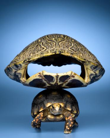Endangered Species「Turtle with larger shell on back」:スマホ壁紙(14)