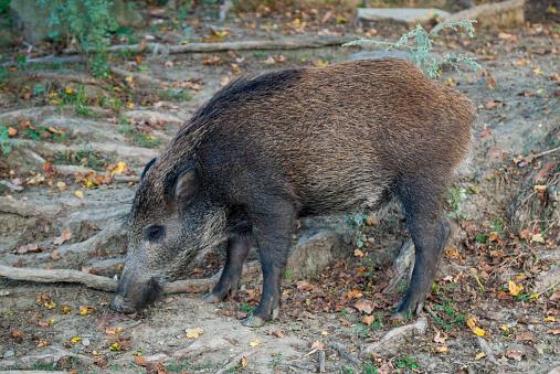 猪「Wild boar in a field」:スマホ壁紙(17)