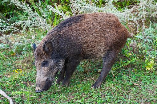 猪「Wild boar in a field」:スマホ壁紙(8)