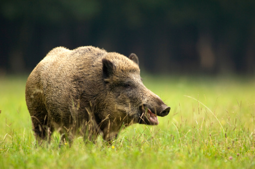 猪「Wild boar (Sus scorfa) in grass」:スマホ壁紙(13)