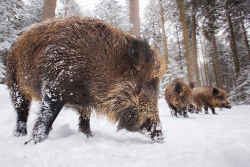 Boar「wild boar in a row」:スマホ壁紙(16)