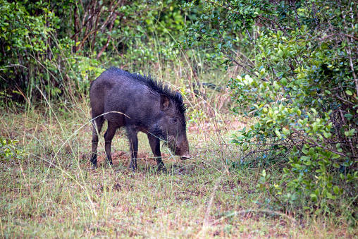 猪「A Wild Boar in a clearing」:スマホ壁紙(1)