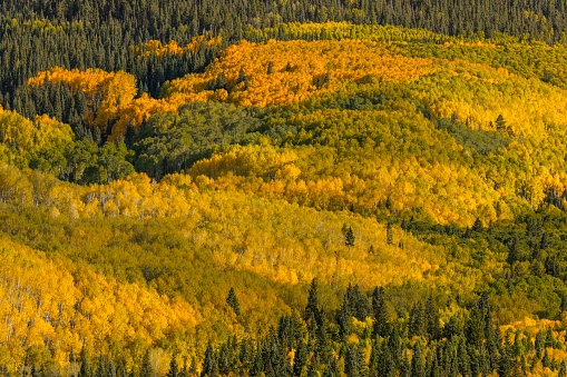 Uncompahgre National Forest「Large mountainside of fall aspen trees」:スマホ壁紙(4)