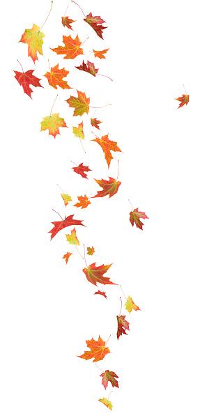 Maple Leaf「Autumn Falling Maple Leaves」:スマホ壁紙(0)