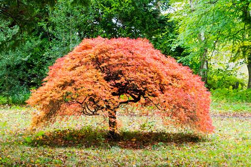 Japanese Maple「An Acer in Howick Hall Gardens, Northumberland, UK.」:スマホ壁紙(14)