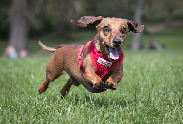 Owner「The Sausage Dog Club Meets For Its Annual Walk In Bath」:写真・画像(12)[壁紙.com]