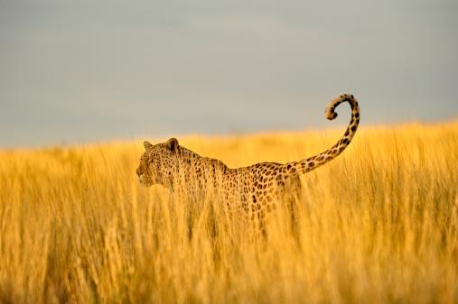 Botswana「Hunting leopard in tall Kalahari grass」:スマホ壁紙(15)
