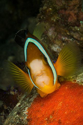 カクレクマノミ「Clownfish defending its clutch of red eggs, Philippines.」:スマホ壁紙(7)