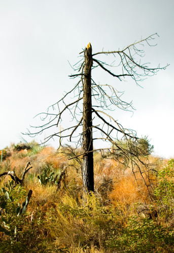 Angeles National Forest「Dead pine tree after forest fire」:スマホ壁紙(8)