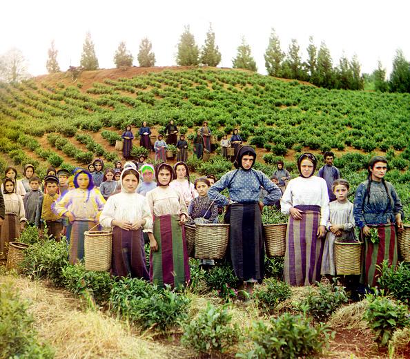 Harvesting「Georgian Tea Harvest」:写真・画像(11)[壁紙.com]