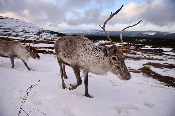 Reindeer「Britain's Only Reindeer Herd Prepare For Christmas In The Cairngorms National Park」:写真・画像(0)[壁紙.com]