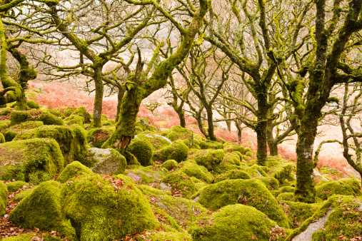 オーク林「Wistman's Wood in Dartmoor National Park.」:スマホ壁紙(17)