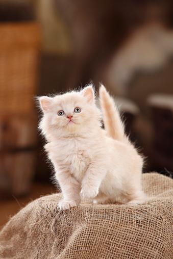 Kitten「British Longhair Cat, kitten, cream, standing on jute」:スマホ壁紙(9)