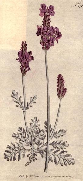 Botany「Pinnated Lavender」:写真・画像(14)[壁紙.com]