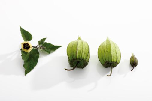 Chinese Lantern「Unripe Physalis fruit (Physalis peruviana), elevated view」:スマホ壁紙(10)