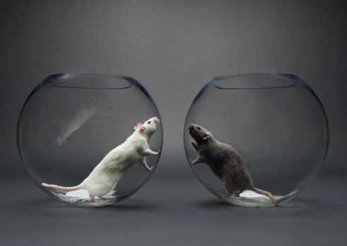Rivalry「Two rats in glass bowls looking at each other」:スマホ壁紙(18)