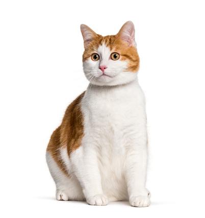 Mixed-Breed Cat「Mixed-breed cat in studio」:スマホ壁紙(12)