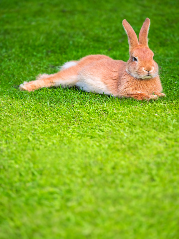 Easter Bunny「Lazy rabbit lying on a meadow」:スマホ壁紙(8)
