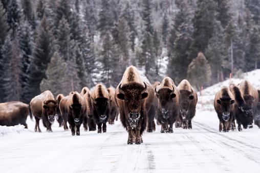 Wilderness Area「Bison in winter」:スマホ壁紙(6)