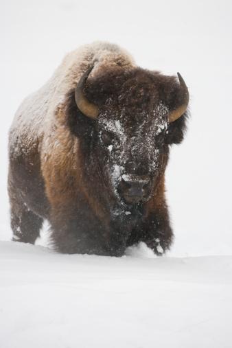 Horned「Bison in Winter」:スマホ壁紙(4)