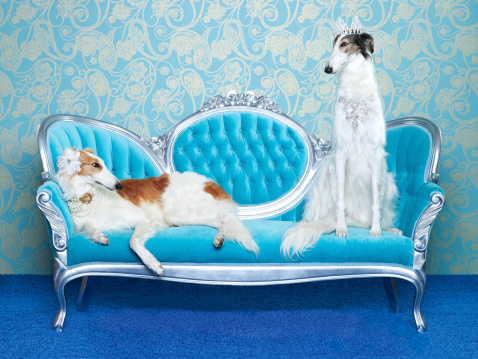 Pampered Pets「Two Borzoi (canis lupus familiaris) on couch.」:スマホ壁紙(6)