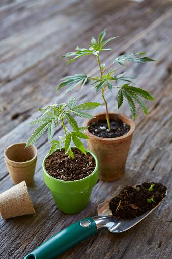 Planting「Marijuana Plant」:スマホ壁紙(19)