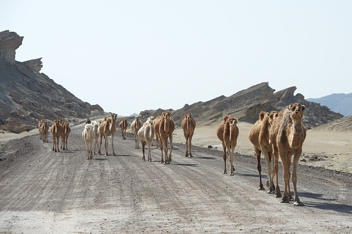 Iran「Caravan of Camels walking in a road, Qeshm, Iran」:スマホ壁紙(6)