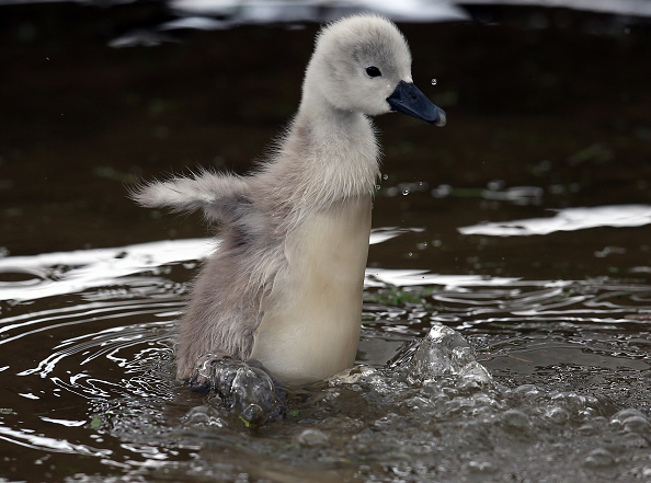 ヒューマンインタレスト「This Year's Cygnets Make A Public Appearance At Abbotsbury Swannery」:写真・画像(4)[壁紙.com]