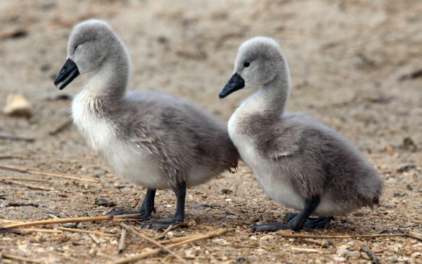 Colony - Group of Animals「Cygnets Hatch At Abbotsbury Swannery As Summer Approaches」:写真・画像(13)[壁紙.com]