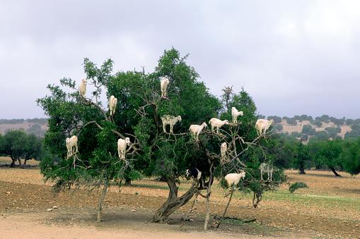 Goat「Morocco, Sidi Kaouki, goats climbing on argan tree」:スマホ壁紙(11)