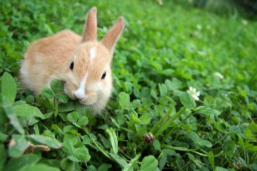 Rabbit - Animal「Rabbit on clovers.」:スマホ壁紙(5)
