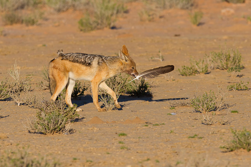犬「One Black backed jackal play with large feather in a dry desert having fun - Kgalagadi Transfronteer Park, South Africa」:スマホ壁紙(12)