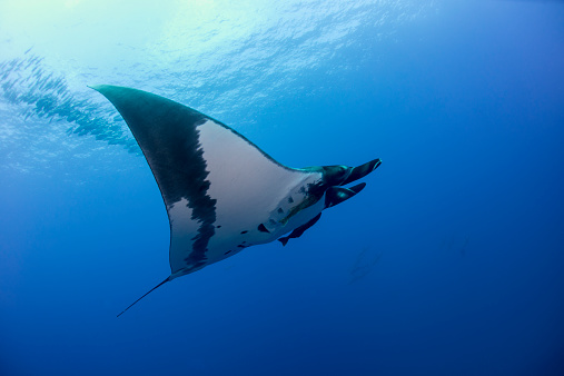 Manta「Giant manta ray swimming with remoras」:スマホ壁紙(2)