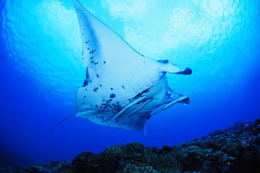マンタ「Giant manta ray (Manta birostris), low angle view」:スマホ壁紙(12)