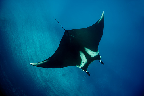 マンタ「A giant manta ray swimming over the reef top」:スマホ壁紙(3)