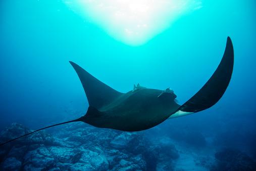 Manta「Giant Manta Ray swimming over the reef」:スマホ壁紙(2)