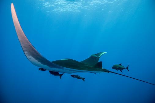 Manta「Giant Manta Ray swimming in the sun beams」:スマホ壁紙(4)